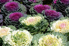 Decorative cabbage Stock Photos