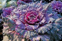 Decorative cabbage Royalty Free Stock Photos