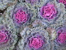 Decorative cabbage Royalty Free Stock Images