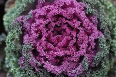 Decorative cabbage Brassica oleracea var. acephala as texture or background. Stock Photos