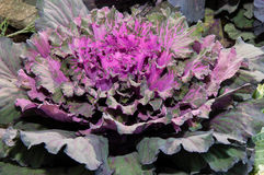 Decorative cabbage in autumn morning Stock Images