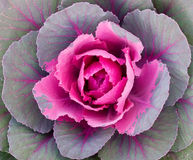 Decorative cabbage background Royalty Free Stock Photos
