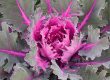 Decorative cabbage background Royalty Free Stock Photo