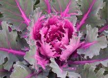 Decorative Cabbage Background Royalty Free Stock Photo