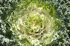 Decorative cabbage background Royalty Free Stock Photography