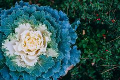 Decorative cabbage background Stock Photography