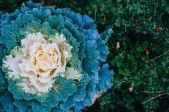 Decorative cabbage background Stock Photography