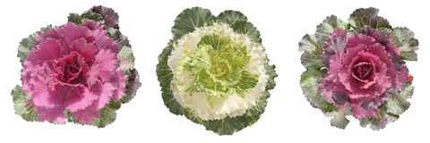 Decorative cabbage border Stock Photo