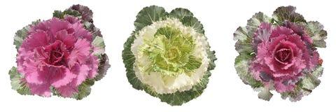 Free Decorative Cabbage Border Stock Photo - 3153260