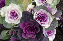Decorative cabbage, Brassica oleracea Royalty Free Stock Photos