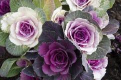 Decorative Cabbage, Brassica Oleracea Royalty Free Stock Photos