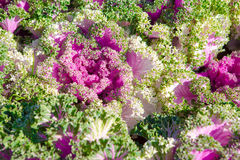 Decorative cabbage, Brassica oleracea Royalty Free Stock Image