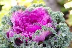 decorative cabbage  ( Brassica oleracea var. ac Stock Image