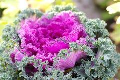 Decorative cabbage  ( Brassica oleracea var. ac. Cabbage vegetable curly  (В. oleracea L. var. acephala DC Stock Image