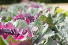 Decorative cabbage. Stock Images