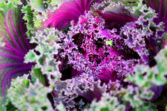 Decorative cabbage close-up Stock Photography