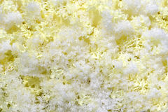 Decorative cabbage in crystals snow Royalty Free Stock Photography