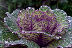 Decorative cabbage Royalty Free Stock Image