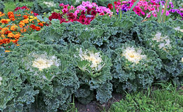 Decorative cabbage in the design of a flower bed Stock Photo