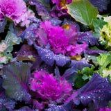 Decorative cabbage Royalty Free Stock Photo