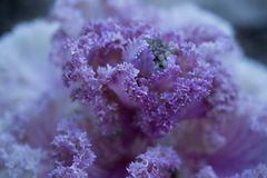 Decorative cabbage flowers stock image