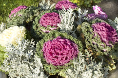 Decorative cabbage green and pink Royalty Free Stock Image