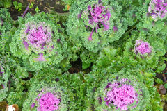 Decorative cabbage Stock Images