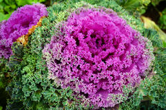 Decorative cabbage. Royalty Free Stock Photography