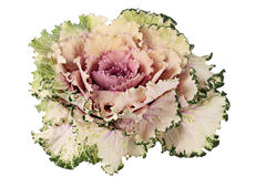 Decorative cabbage. Stock Photos