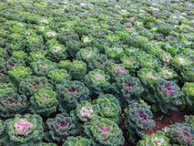 Decorative cabbage or kale Stock Image
