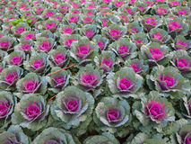 Decorative cabbage or kale Stock Images