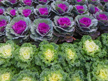 Decorative cabbage or kale Stock Photo
