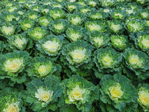 Decorative cabbage or kale Royalty Free Stock Photography