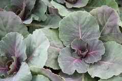 Decorative cabbage leaves. Ornamental decorative blue green purple cabbage leaves royalty free stock photos
