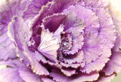 Decorative cabbage Stock Photography
