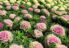 Decorative cabbage plantation Stock Images