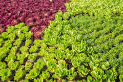 Decorative cabbage in public garden in Chiamg Mai, Thailand Royalty Free Stock Photography