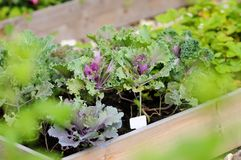 Decorative cabbage seedlings Stock Photography