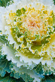 Decorative cabbage Stock Image