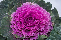 Decorative cabbage in white snow Stock Image