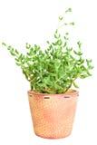 Decorative cactus Royalty Free Stock Photo