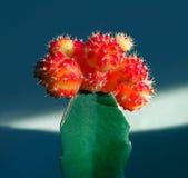 Decorative cactus. Royalty Free Stock Image