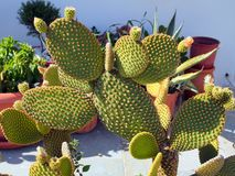 Decorative Cactus Plants Royalty Free Stock Photo