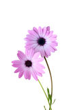 Decorative camomile. With pink petals on a white background Stock Photo