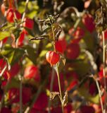 Decorative cape gooseberries Stock Photos