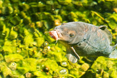 Decorative carp in emerald water Stock Images
