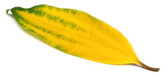 Decorative cassia leaf Stock Images