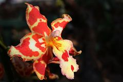 Decorative Cattleya hybrid orchid flower with patchy red to white and yellow pattern. Daylight sunshine stock image