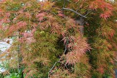 Decorative Caucasian red maple Acer japonicum in the foothill pa. Decorative Caucasian red maple Acer japonicum with branches and leaves growing in the foothills Royalty Free Stock Photo