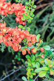 Decorative chaenomele bush. On a green background Royalty Free Stock Images